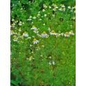 Kamillenblüten ganz  Matricaria chamomilla Mäc Spice
