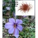 Safran Absolute 5% Lösung Crocus sativus  absolut selten Saffran