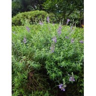Helmraut Extrakt mit 85 % Baicalin   Scutellaria Baicalensis