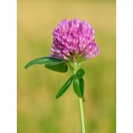 Rotkleeblüten - Tee Trifolii pratensis flos ganze Blüten