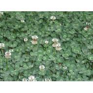 Weisskleeblüten - Tee Trifolium repens ganze Blüten