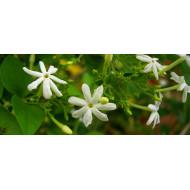Jasminwasser o. Kons.  beste Qualität Jasminum Grandilflorum  Mäc Spice