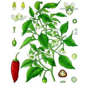 Allspice Öl - Spanischer Pfeffer Capsicum annuum naturreines ätherisches Öl