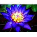 Blue Lotus (Nymphaea caerulea) Extrakt 20 fach Blauer Lotus