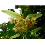 Lindenblüten Absolute - Tilia platyphyllos - naturreines ätherisches Öl