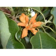 Champaca Absolute - magnolia champaca naturreines Champaca Öl