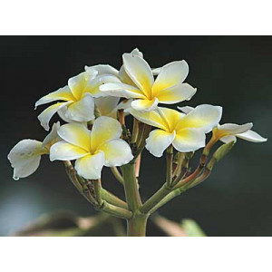 Frangipani Abolute Plumeria alba