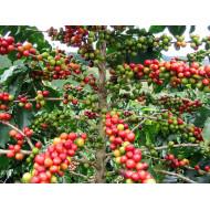 Kaffee CO2 Extract Öl coffea arabica L.  absolut selten