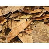 Guayusa Blätter / Tee   Ilex guayusa Indianertee vom Amazonas