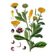 Ringelblumenöl ätherisch Marigold natürliches ätherisches Öl