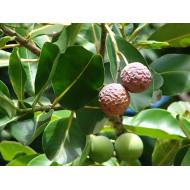 Tamanuöl Calophyllum inophyllum natürl. ätherisches Öl