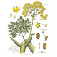 Galbanumöl (Ferula galbaniflua) rein natürliches ätherisches Öl