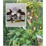 Angelikawurzelöl Engelwurzöl Angelica archangelica 100% naturreines Öl Mäc Spice