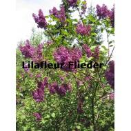 Flieder Lilafleur