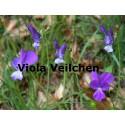 Veilchen Viola