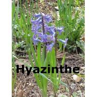 Hyazinthe