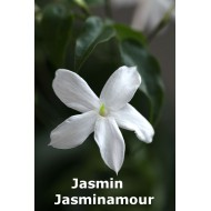 Jasmin Jasminamour