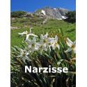 Narzisse