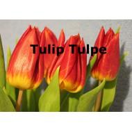 Tulpe Tulip