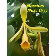 Moschus Musc Dry